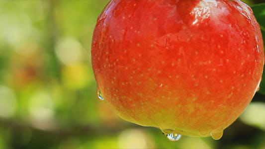 Thumbnail for Apples On A Branch