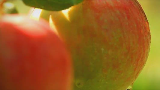 Thumbnail for Apples On A Branch Shot Slider