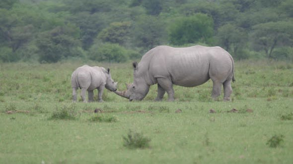 Thumbnail for Rhino mother and young standing close together