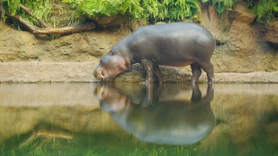 Thumbnail for Pygmy Hippopotamus Near Water - Hexaprotodon Liberiensis. Liberian Hippo.