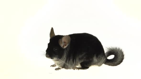 Thumbnail for Gray Chinchilla at White Background