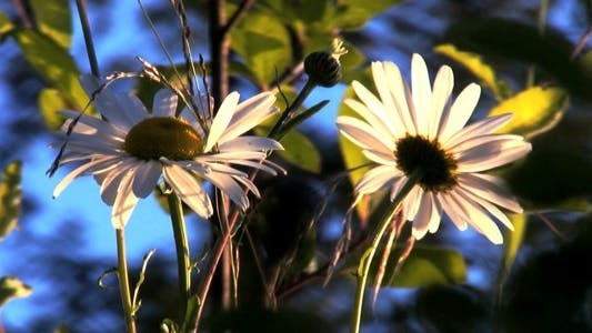 Thumbnail for Cool Daisy Flowers