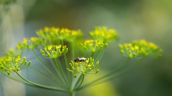 Thumbnail for Yellow-black Hoverfly on Fennel Flowers