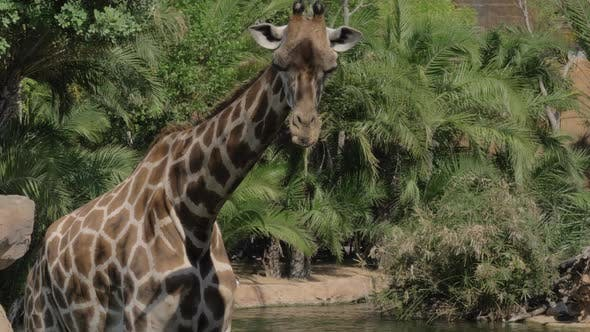 Thumbnail for Giraffe in the Zoo