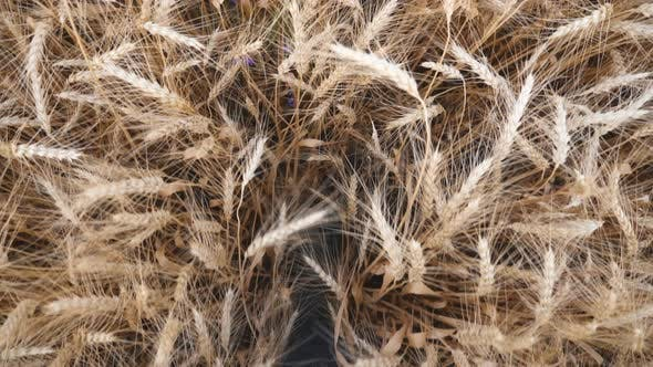 Thumbnail for Male Feet of Agronomist in Boots Stepping Through the Wheat Stalks on the Field. Legs of Young