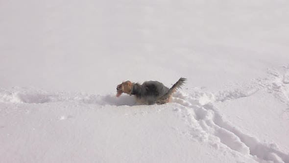 Thumbnail for Little Dog Shaking off Snow