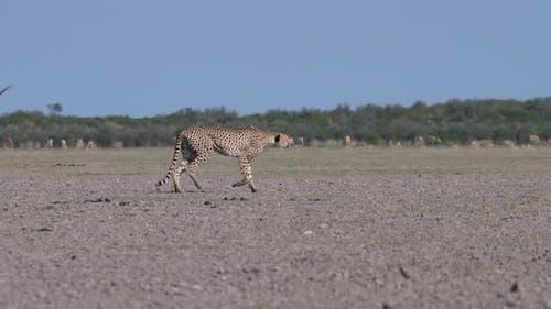 Cheetah hunting at the Central Kalahari Game Reserve