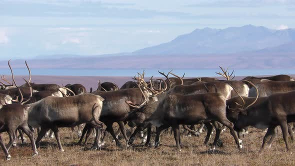 Caribou Adult Immature Herd Many Walking Moving in Autumn in Alaska