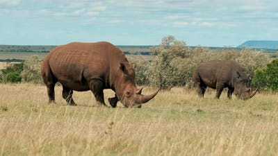 Rhinos in Savanna