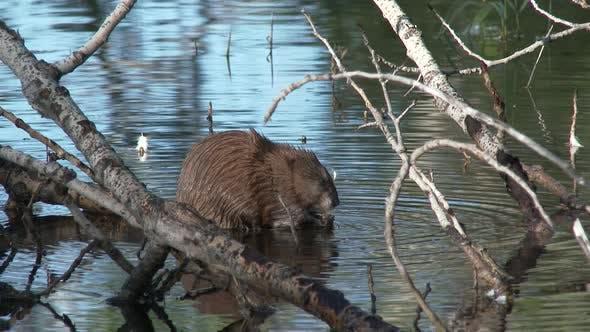 Muskrat Adult Lone Eating Feeding in Summer in South Dakota
