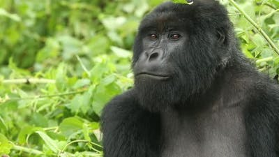 Mountain Gorilla Looking Around