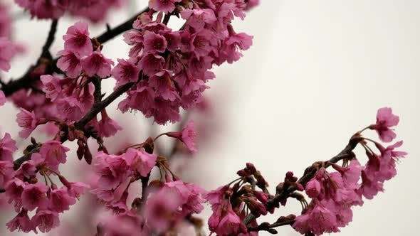 Thumbnail for Japanische Sakura
