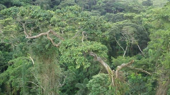 Drohne aufnahme, die um einen tropischen Hartholzbaum dreht