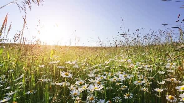 champ de prairie de fleurs de marguerite contre le ciel bleu et coucher de soleil avec le vent