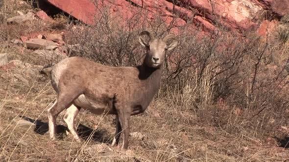 Bighorn Sheep Ewe Female Adult Lone Standing in Autumn in South Dakota