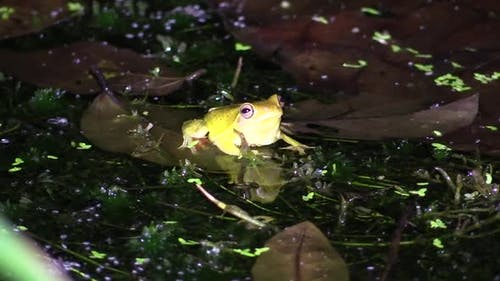 Swamp Treefrog Adult Lone Resting Still Night in Costa Rica