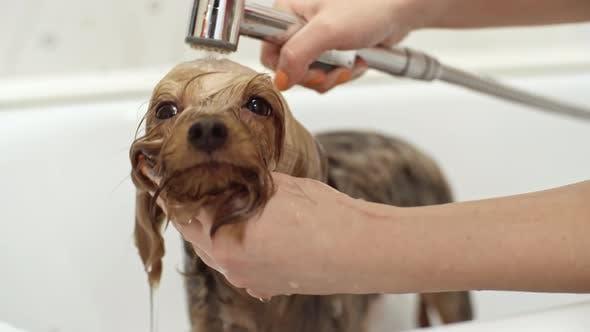 Thumbnail for Groomer Washing Yorkshire Terrier Dog