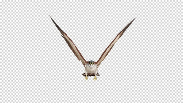 American Kestrel - 4K Flying Loop - Front View