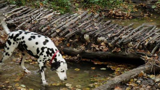 Thumbnail for Dog Crossing River In The Forest