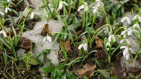 Thumbnail for Snow Melting and Snowdrop Flower Blooming in Spring Forest