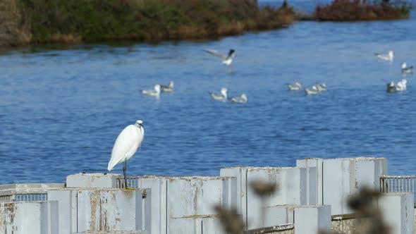 Thumbnail for Great egret at a metal wall