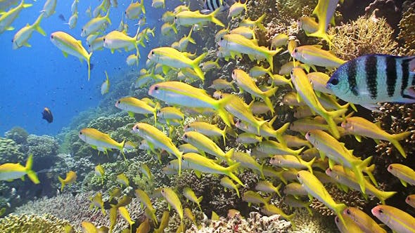 Thumbnail for Shoal Of Yellow Fish On Coral Reef 2