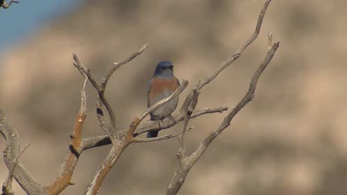 Western Bluebird Lone Perched Dry Season in Guadalupe Mountains National Park Texas