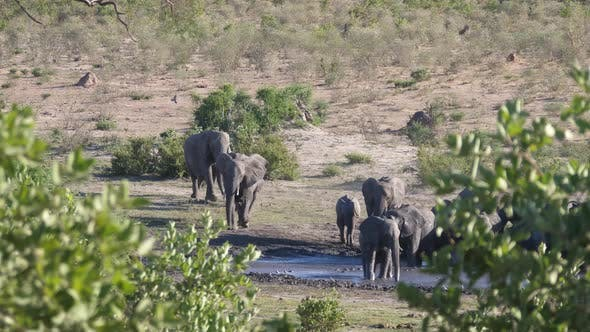 Thumbnail for African Bush elephants arriving at a waterhole