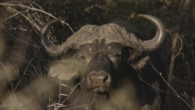 African Buffalo With Huge Horns