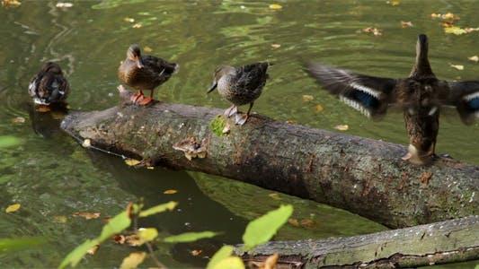 Thumbnail for Ducks On Tree Trunk
