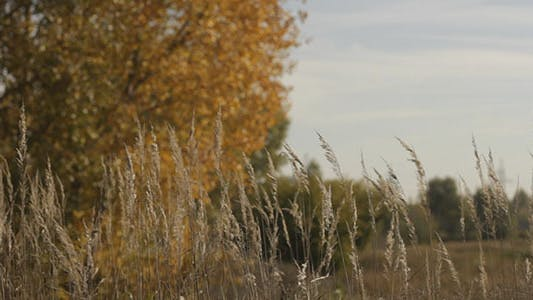 Thumbnail for Dry Stalks And Autumn Yellow Tree