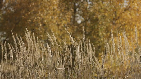 Thumbnail for Dry Stalks And Yellow Autumn Trees