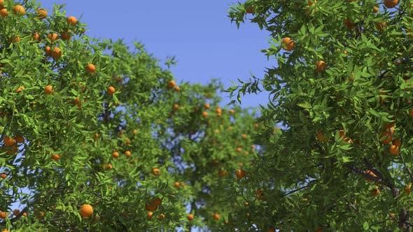 Ripe Oranges On Tree Branches In An Orange Garden