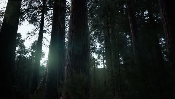 Thumbnail for Giant Sequoia Trees at Summertime in Sequoia National Park, California