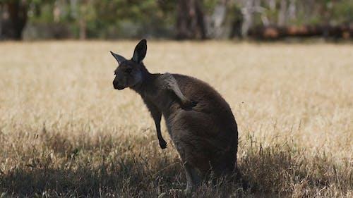 Kangaroo in Rest
