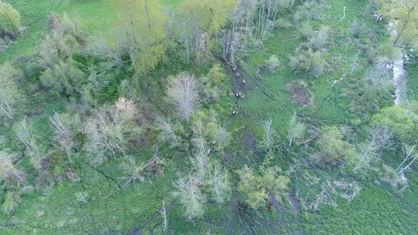 Thumbnail for Gang Of Elk Wander Through Wetlands Top Down Aerial View