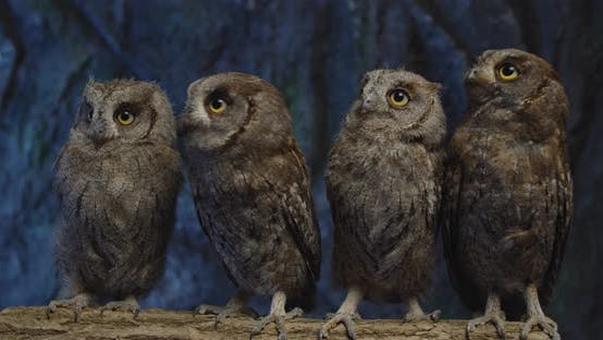 Adorable Baby Owls with Big Eyes Are Sitting on a Branch, Wild Birds,
