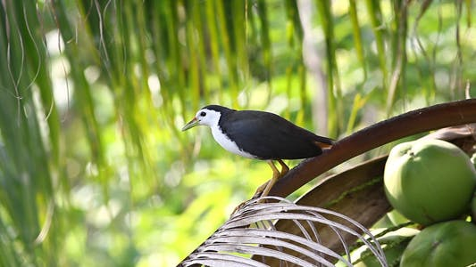 Thumbnail for White-Breasted Water Hen 1