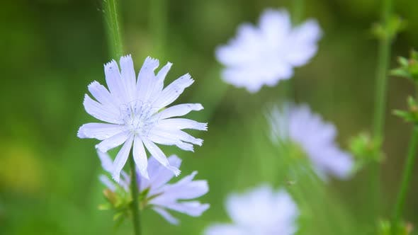 Blue Flowers of Chicory in the Field