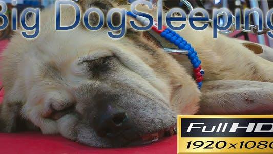 Thumbnail for Big Dog Sleeping FULL HD