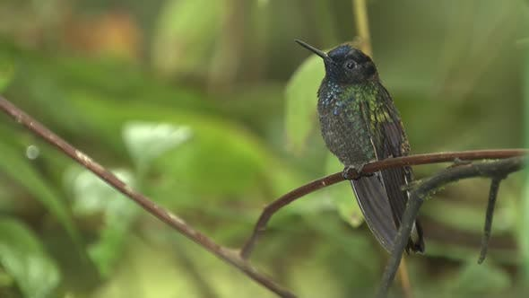 Thumbnail for West Emerald Hummingbird Male Perched and Flying in South America