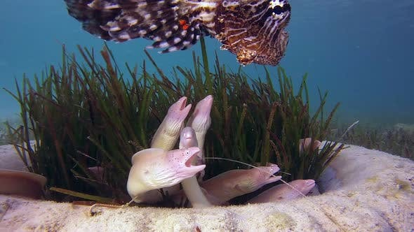 Cover Image for Geometric Morays and Commen Lion-Fish