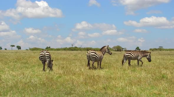 Thumbnail for Herd of Zebras Grazing in Savannah at Africa