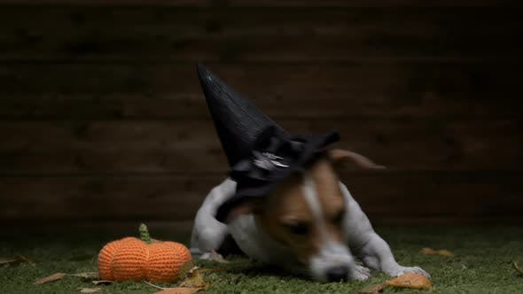 Cover Image for Dog Jack Russell Terrier In Witch Costume For Halloween Holiday