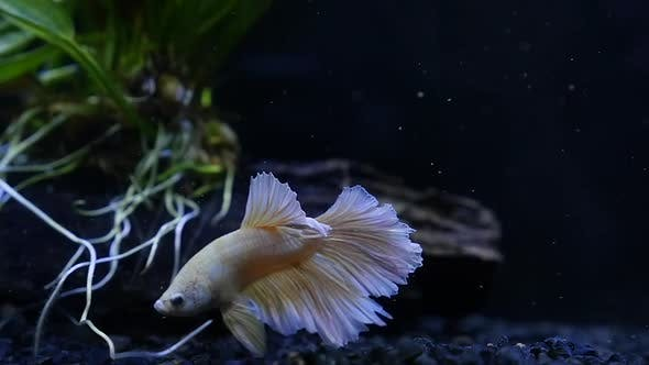 Close Up Of  Gold Siamese Fighting Fish In A Fish Tank Slow Motion