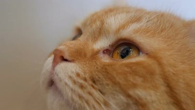 Close up eyes of ginger cat looking up.
