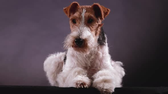 Fox Terrier Lies in the Studio on a Gray Black Gradient Background, Front View. The Dog in the
