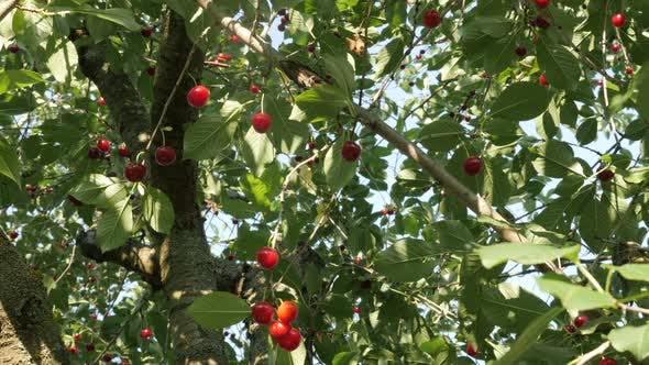 Red Prunus cerasus leckere Fruchtstücke auf Baum 4K 2160p 30fps UltraHD Video - Bio-Lebensmittel sauer ch