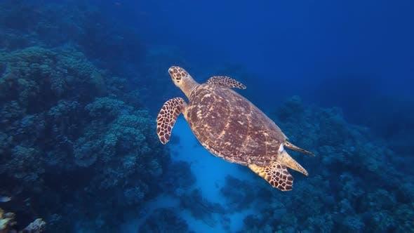 Thumbnail for Underwater Reef Sea Turtle