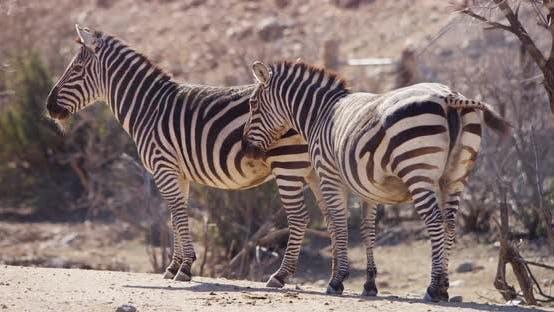 Thumbnail for Animals - Zebras